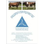 Спермопродукция импортных немецких быков отечественного производства фото