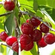 Гидролат вишни фото