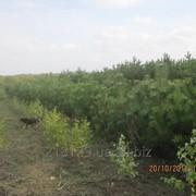Саженцы сосны крымской c комом в Одесской обл. фото