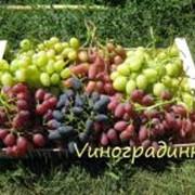 Саженцы винограда элитных столовых сортов фото