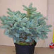 Хвойники и самые различные декоративно-лиственные деревья и кустарники фото