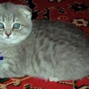 Элитные клубные котята редких окрасов ВИСКАС фото