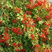 Калина обыкновенная Компактум (Viburnum opulus 'Compactum') фото