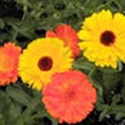 Календулы цветки фото