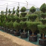 Продажа растений: хвойные, лиственные, лианы, почвопокровные, цветы фото