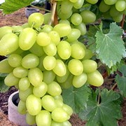 Саженцы винограда Аркадия фото