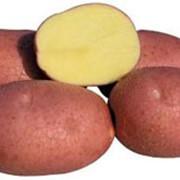 Картофель сортовой ранний в наличии фото