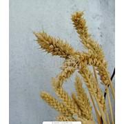 Твердые сорта пшеницы фото