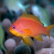 Рыба Антиас голубоглазый Pseudanthias squamipinnis фото