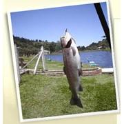 Рыба живая, рыба живая купить, продам живую рыбу, жывая рыба оптом фото