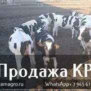Продажа коров оптом фото