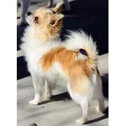 Длинношерстные щенки чихуахуа фото