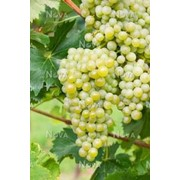 Саженцы винограда сортового Бианка, арт 69101