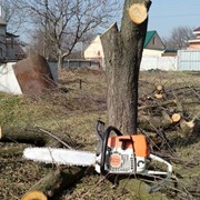 спил и обрезка деревьев фото