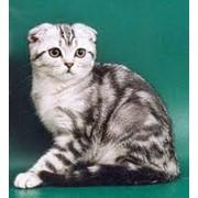 Кошки вислоухие фото