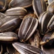 Семена подсолнечника сорт Римисол Нови Сад Сербия фото