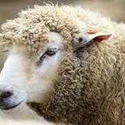 Овцы, продажа овец в Украине, Украина, Одесская область, Коминтерновское фото
