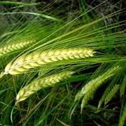 Пшеница,зерно,купить пшеницу,фураж,комбикорм,пшеница,зерно,купить пшеницу,фураж,комбикорм, фото