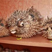 Морской ёж и другие морские сувениры оптом и розницу. фото
