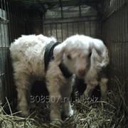 Козлята -козлики ангорские. фото