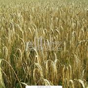 Злаки,Зерновые, бобовые и крупяные культуры фото