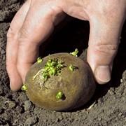 Выращивание и реализация зерновых культур подсолнечника, овощей и картошки фото