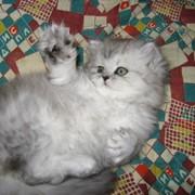 Персидские серебристые шиншиллы фото