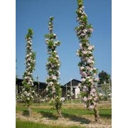 Саженцы колодновидных яблонь фото
