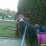 Прокат лошадей, кареты пони и лошади фото