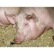 Ремонтные свиньи