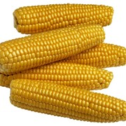 Кукуруза, кукуруза оптом Украина фото