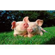 "Комбикорм- Ремонтные свиньи ТМ""Feed&Life"" фото"