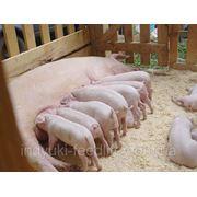 "Для лактирующих свиноматок ТМ""Feed&Life"" фото"