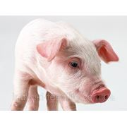 """Откорм для свиней ТМ""""Feed&Life"""" фото"""