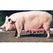 """Для супоросных свиноматок ТМ""""Feed&Life"""" фото"""