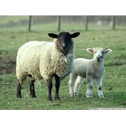 "Для молодняка овец ТМ""Feed&Life"" фото"
