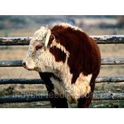 """Откорм для бычков (унтиверсальный) ТМ""""Feed&Life"""" фото"""