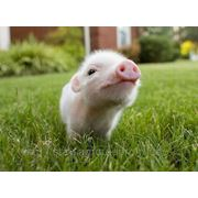 Комбикорм и белково-витаминные добавки (БВД) для свиней
