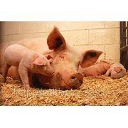 Комбикорм для свиней СТАРТ от 12 до 35 кг, комбикорм для свиней 100%, купить комбикорм, сырой протеин 19,02%