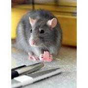 Дератизация - уничтожение крыс фото