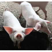 Вакцина против рожи свиней из штамма ВР-2 живая сухая ТУ 9384-014-00482915-01 фото