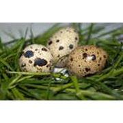 Доставка яиц перепелиных Крым фото