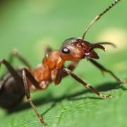 Уничтожение муравьев, Дезинсекция, Дезстанция Надежда и К, ТОО, Муравьи, уничтожение муравьев, борьба с муравьями фото