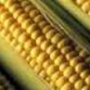 Кукуруза сорта Будан фото