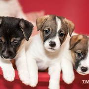 Породные щенки Джек Рассел Терьера фото