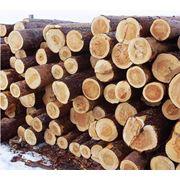 Лес - сосна дуб бук ель Одесса Порт фото
