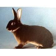 Крольчата Рекс Кастор фото