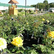 Продажа декоративных растений. Казань фото