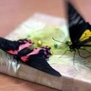 Две живых бабочки фото