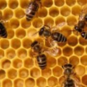 Пчела мёдоносная фото
